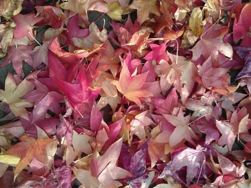 ruduo,rudens lapai,lapai,nukritę lapai,raudoni lapai,rausvos spalvos lapai,violetinės lapai,gamta,blyškiai rožinė,palieka ant žemės,blyški saulės šviesa,poilsio,klevas,klevo lapas,raudona,japanese