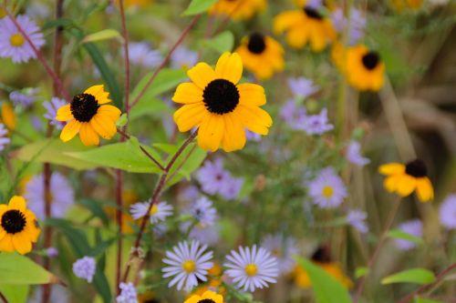 ruduo,gėlės,violetinė,asters,aukso ruduo,pieva,geltona