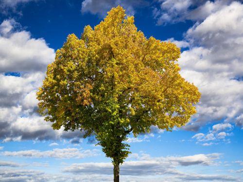 ruduo,medis,aukso ruduo,lapai,nuotaika,dangus,kritimo spalva,kritimo lapija,farbenspiel,atsiras,karūna,rudens spalvos,debesys,šviesus,aukso geltona
