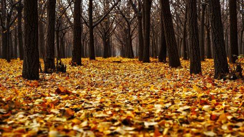 ruduo,kritimas,spalvinga,lapai,kraštovaizdis,miškas,medžiai,miškai,krentantys lapai,kiliminė danga,padengtas,gamta,lauke,Šalis,kaimas,hdr