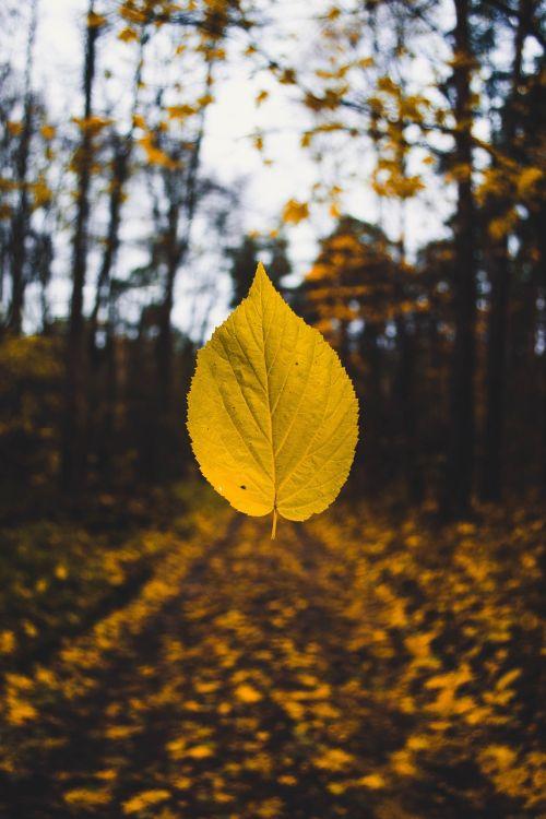 ruduo,rudens spalvos,rudens lapas,rudens lapai,rudens nuotaikos miškas,blur,šviesus,Iš arti,aplinka,kritimas,kritimo lapai,flora,dėmesio,miškas,žemė,kraštovaizdis,lapai,lapai,levituoti,šviesa,gamta,gamtos fotografija,lauke