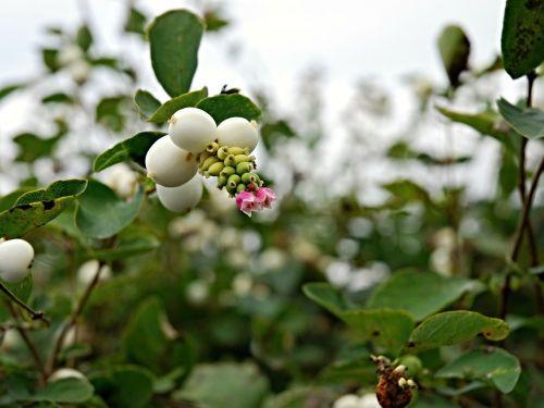 ruduo,vaisiai,brulinky,gėlė,bilietai,žalias,snieguolė balta,s albus,čekų budejovice,pietų bohēma