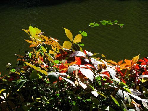 ruduo,aukso ruduo,sezonas,lapai,spalvos,spalvinga,vanduo,upė,gamta