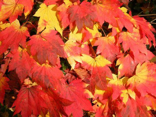 ruduo,spalva,lapai,medis,kritimo spalvos,aukso ruduo,kritimas,sezonas