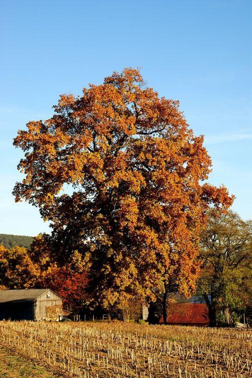 ruduo,medis,spalvinga,lapai,aukso ruduo,rudens spalvos,nuotaika