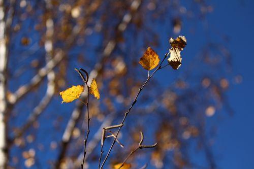 ruduo,beržas,lapai,geltona,aukso ruduo,miškas,medžiai,rudens miškas,gyvoji gamta,filialas,medis,rudens diena,geltonieji lapai,augalas,gamta,dangus,rudens spalvos,rudens gamta,diena,listopad,lapija,birchwood,parkas,rudens lapas,kritimo spalvos,rudens lapai,šviesus