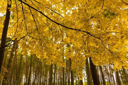 ruduo,dažyti,miškas,kraštovaizdis