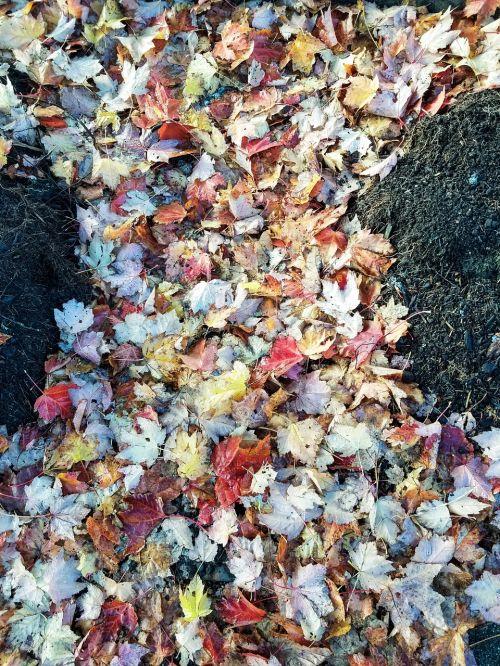 ruduo,klevo lapas,gamta,natūralus,lapija,rudens,Spalio mėn,klevo lapas