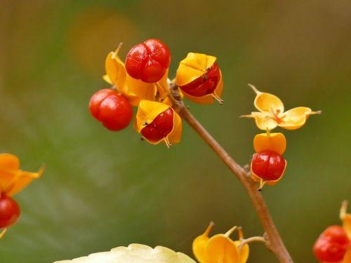 ruduo,miškas,krūmas,gamta,aukso ruduo,raudona,geltona,vaisiai