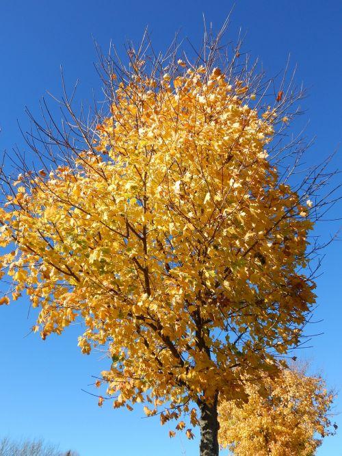 ruduo,kritimo lapija,aukso ruduo,lapai,geltona,klevas,spalvinga