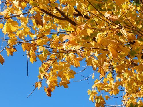 ruduo,kritimo lapija,medis,lapai,aukso ruduo,geltona,klevas