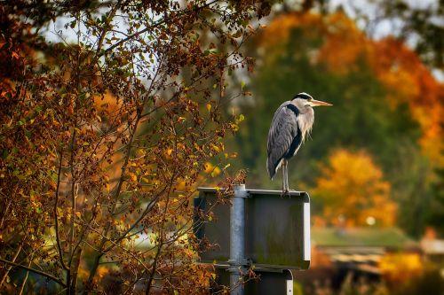 ruduo,paukštis,heronas,pilka giraitė,gamta,aukso ruduo