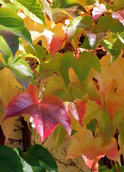 ruduo,lapai,aukso ruduo,vynmedis,raudona,geltona,žalias