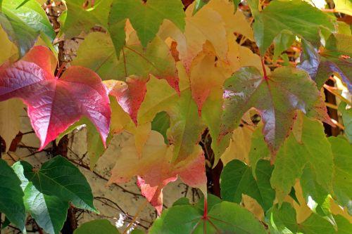 ruduo,lapai,aukso ruduo,auksinis,vynmedis,raudona,geltona,žalias