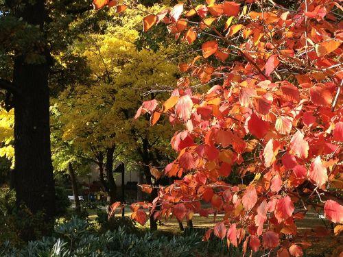 ruduo,kritimo lapija,rudens spalvos,kritimo spalva,kritimo lapai,atgal šviesa