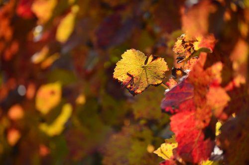 ruduo, lapai, aukso ruduo, kritimo spalva, auksinis, augalas