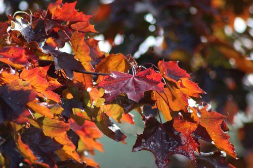 ruduo,lapai,raudona,palieka rudenį,kritimo lapija,aukso ruduo