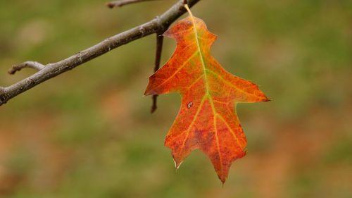 ruduo,ašmenys,spalvinga,raudona spalva,rudens lapai,spalva