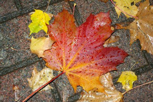ruduo,lapai,gamta,šlapias,kritimo lapija,kritimo spalva,aukso ruduo,klevo lapai,šaligatvis,brangakmeniai,kritimo lapai,rudens spalvos,palieka rudenį,auksas,deris,spalvinga,auksinis,rudens spalvos rudens nuotaika,geltona,medžiai,lietus,raudona