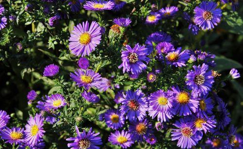 rudens gėlės,mėlynos rudens dreselės,mėlynas,sodas,gėlės,gamta,augalas,Petite,gėlė,mėlynos gėlės,sodo gėlės,metų laikas,botanika,botanikos,flora