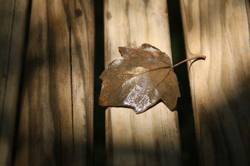 rudens lapas,Iš arti,sausas lapas,kietmedis,lapai,mediena,klevo lapas,blizgantis,minkšta mediena,mediena,mediena,medinės lentos