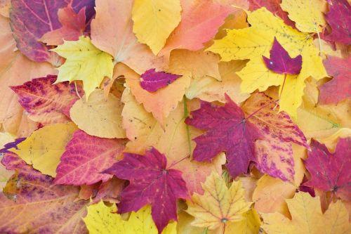 rudens lapai,spalvoti lapai,kritimo lapai,Spalio mėn,sezonas,gamta,lapai,lapija,lapkritis,klevas,spalvinga,spalvos