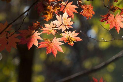 rudens lapai,lapai,ruduo,lapai,lapai,raudonas klevas,klevo mediena,kraštovaizdis,mediena,kalnas,dobong,Seulas