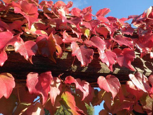 rudens lapai,raudona,dangus,lašelinė,vynmedis,rank,augalas,šviesus,kritimo lapija