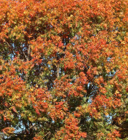 gamta, augalai, medžiai, pecan & nbsp, medis, lapai, raudona & nbsp, lapai, geltonos spalvos & nbsp, lapai, žalios spalvos & nbsp, lapai, rudenį & nbsp, lapai, kritimo & nbsp, lapai, Pekanai & nbsp, lapai, fonas, pilnas & nbsp, rėmas, mėlynas & nbsp, dangus, rudens lapai fone