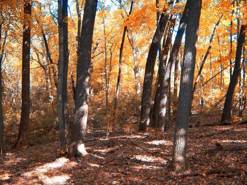 ruduo, miškai, medžiai, miškas, oranžinė, lapai, kritimas, rudens miškai