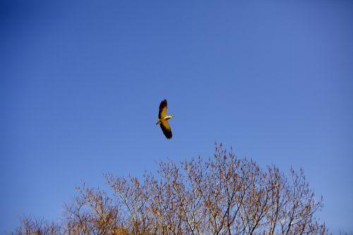 ave,aš važiuoju paukščiu,sparnai,paukštis,dangus,plunksnos,atviri sparnai,mėlynas dangus,medis,laisvė,spalvos,geltoni sparnai,skraidantis,skrydis,skristi,gamta,gyvūnai,mažas paukštelis,mėlynas,gyvūnų pasaulis,piko,žalias,gyvūnas,fauna