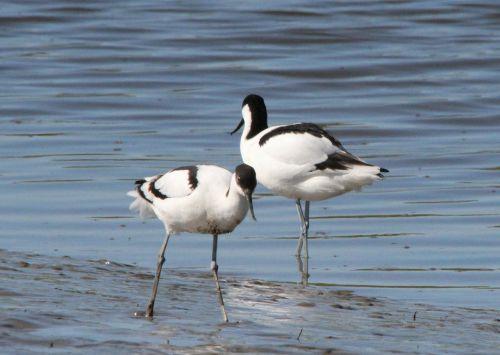 avocet,recurvirostra avosetta,seevogel,vato paukštis,vandens paukštis,paukštis,paukščiai,gyvūnas,gyvūnai