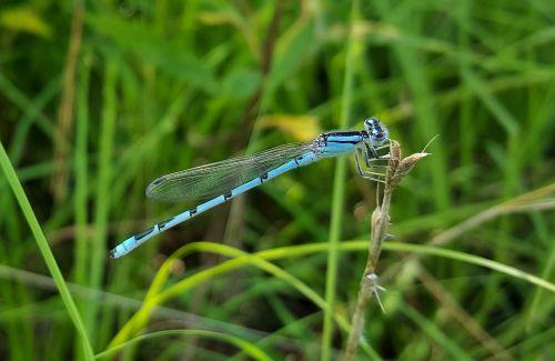 pažįstama mėlyna dumbliai,damselfly,vabzdys,vabzdžiai,sparnuotas,klaida,skraidantis vabzdys,sparnuotas vabzdys,Bokeh,Iš arti,padaras,entomologija,nariuotakojų,biologija,fauna,gamta,enallagma civile