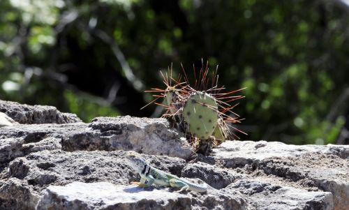 driežas, kaktusas, dykuma, kaktusai, Rokas, lauke, gamta, ropliai, violetinė, augalas, kūdikių kaktusas ir driežas