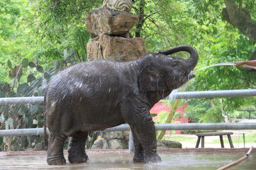 kūdikio dramblys,Tailandas,dramblys,vasara,zoologijos sodas,gamta,kelionė,gyvūnai,asija,bagažinė,atostogos