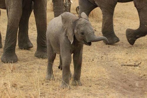 kūdikio dramblys,dramblys,Tanzanija,laukinis dramblys,laukiniai,gamta,laukinė gamta,gyvūnai,dramblys,dramblys šeima,serengečio nacionalinis parkas,afrika,gyvūnas,drambliai