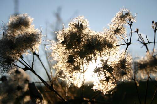 atgal šviesa, gamta, saulė, augalas, mėnulis, gėlės, hexen zwirn, gyvatvorės virvių, dangus, balta, mėlynas, atmosfera