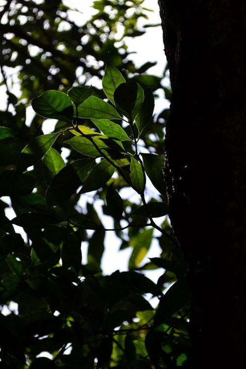 atgal & nbsp, šviesa, šviesa, saulė, saulė & nbsp, šviesa, medis, gamta, laukiniai, dangus, balta, augalas, atgal šviesa su lapais