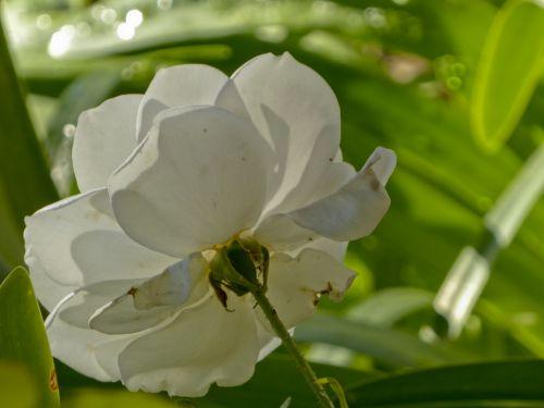 balta & nbsp, rožė, backside, žalias & nbsp, fonas, sodas, saulės šviesa, rytas & nbsp, šviesa, žiedlapiai, susiduria su & nbsp, saulėgrąža, rožė, stiebas, talpykla, Peduncle, sepal, rasa atgal