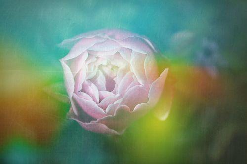 tapetai,skaitmeninis,šviesa,menas,skaitmeninis menas,spalva,fantazija,rožė