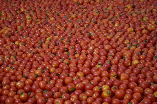 fonas,pomidorai,raudona,prinokę,daržovės,valgyti,maistas,prinokę pomidorai,daugelis pomidorų,daug,kiekybiniai,apie,vaisiai