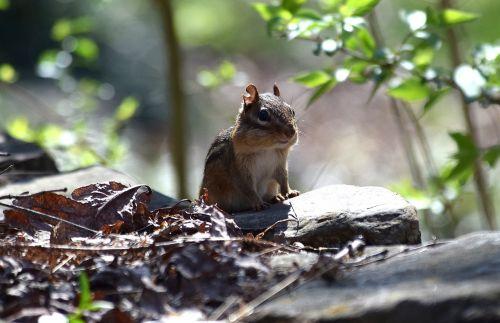 apšviestas burundukas,rytinė burundukas,burundukas,graužikas,gyvūnas,gamta,mielas,pavasaris,pūkuotas,žinduolis,laukiniai,lauke,laukimas,žiūrėti