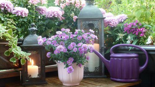 balkonas,asters,chrizantemos,Loewenmaeulchen,gėlės,vėjo šviesa,žibintai,lempos,žvakė,elfai,nykštukai,violetinė,rožinis,violetinė,žalias,natiurmortas,įspūdis,apdaila,dekoratyvinis,deko,dekoruoti,nemokamai,vasara,vasaros idilija,idilija,idiliškas,gražus,nuotaika,menas,gamta,grožis,į sveikatą