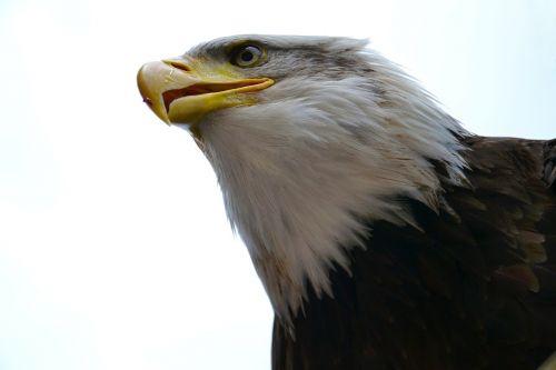 plikas erelis,usa,amerikietis,simbolinis,paukštis,plėšrūnas