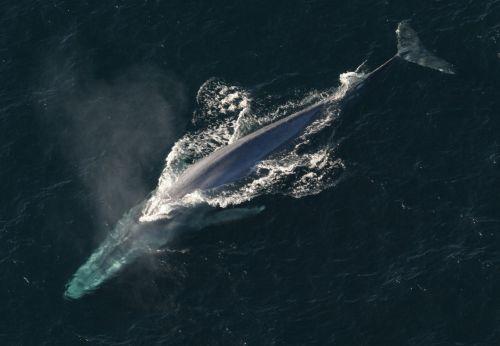 gyvūnas, kraštovaizdis, jūrų, jūros dugnas, bangos, gamta, putos, jūra, banginis, uodega, Mėlynasis banginis, Mėlynasis banginis