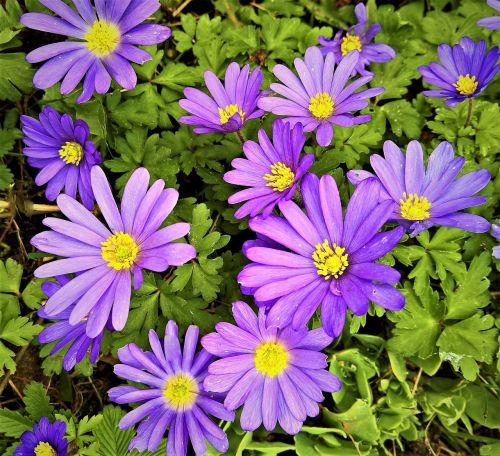 balkan anemone,Anemone blanda,mielas anemonis,gėlė,hahnenfußgewächs,mėlynos violetinės gėlės,geltonos žiedadulkės,ankstyvas bloomer,šviesus,pavasaris