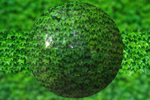 rutulys,lapai,ivy apie,gamta,žalias,augalas,flora,aplinka,globojamos