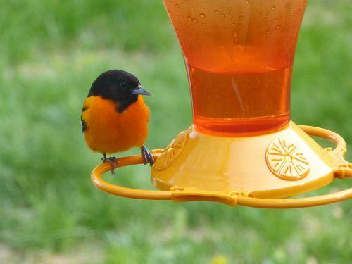 baltimore oriole,paukštis,oranžinė,laukinė gamta