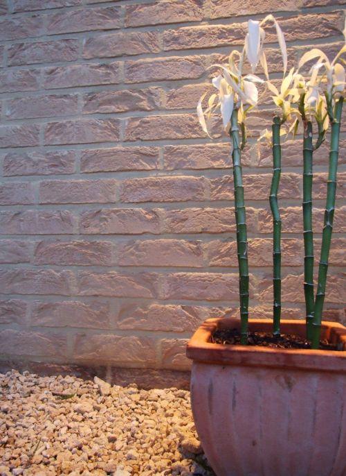 bambukas, mažas, kūdikis, jaunas, puodą, puodai, auga, fonas, siena, šviesa, žalias, bambukas