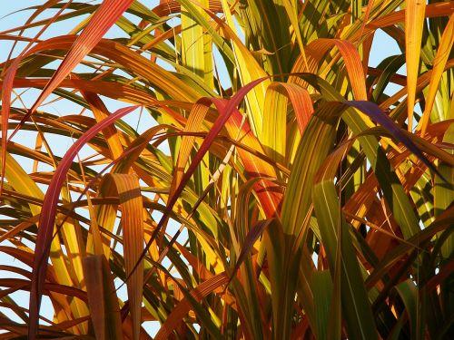 bambukas,geltonas bambukas,lapija,spalvos,ruduo,miscanthus chinese